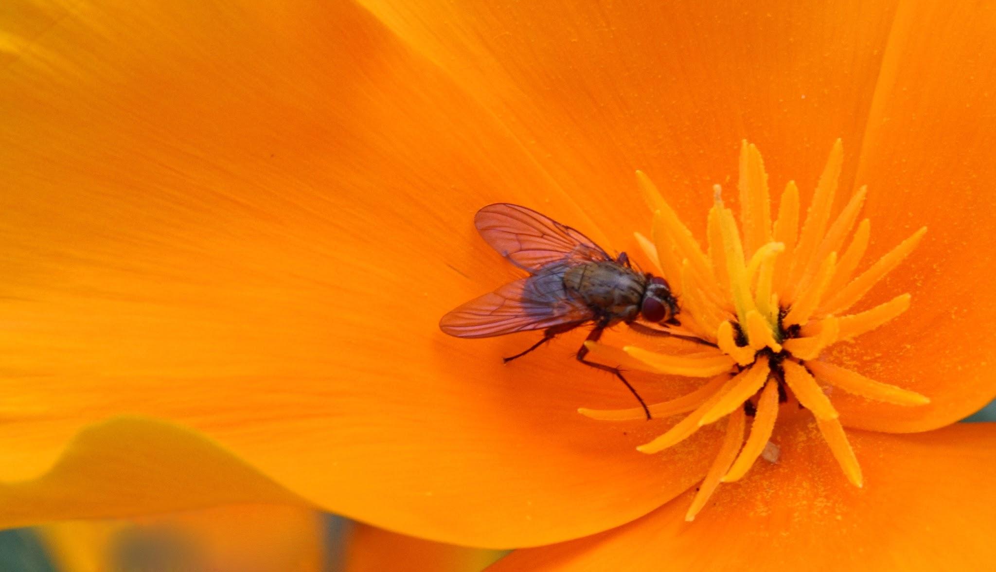 Fliege auf einer Mohn-Blüte
